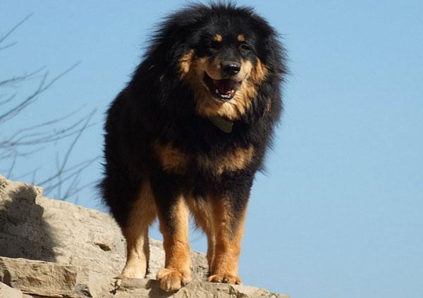 Самые большие породы собак - Тибетский мастиф
