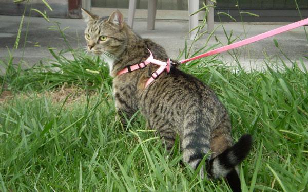 Прогулка с домашней кошкой
