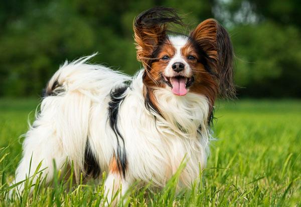 Папильон - самые маленькие породы собак