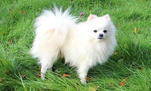 Померанский карликовый шпиц - самые маленькие породы собак