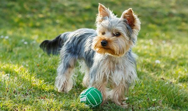 Йоркширский терьер (Йорк) - самые маленькие породы собак