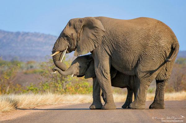 Фото: Африканский слон