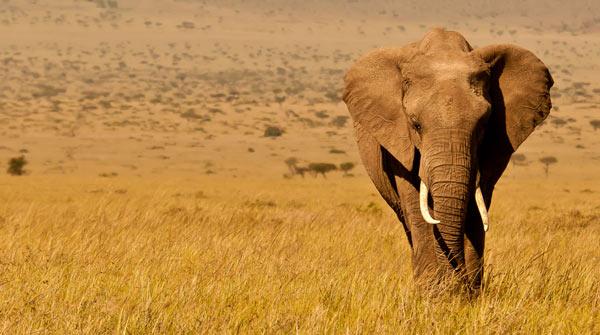 Африканский слон - фото, описание, ареал обитания, питание