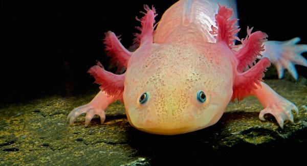 Аксолотль - водяной дракончик