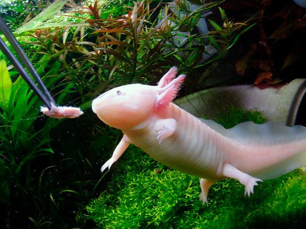 личинки амбистомы и сами аксолотлы хищники и предпочитают животную пищу