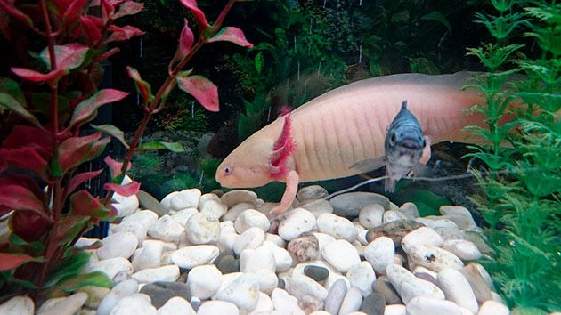 Не рекомендуется содержаться аксолотов с другими рыбами