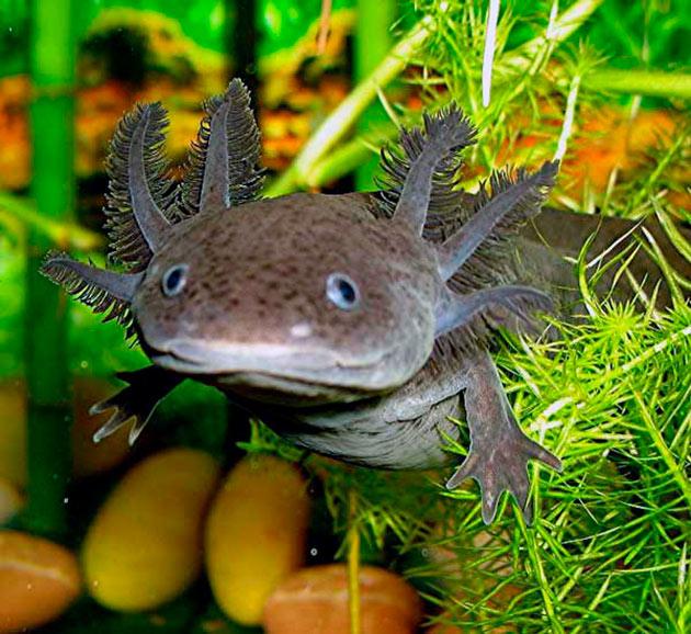 Домиков для саламандры лучше сделать несколько, что бы питомец имел выбор