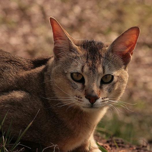 Порода кошек – Чаузи