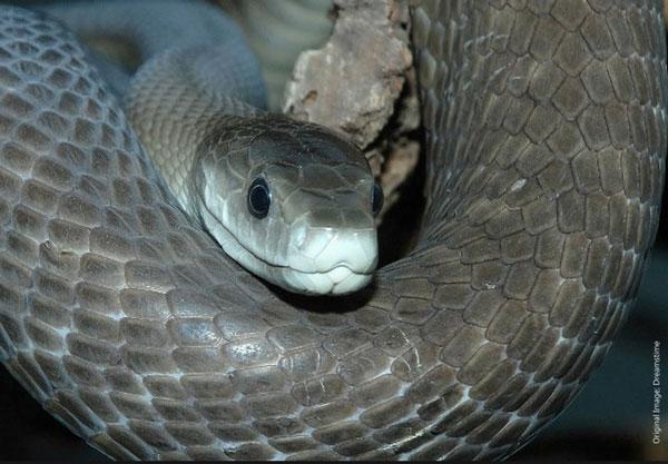 Черная мамба - самая ядовитая змея