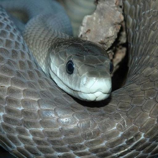 Черная мамба — самая ядовитая змея
