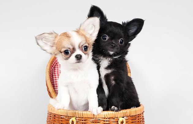 Цена на щенка чихуахуа варьируется от 15 до 100 тысяч рублей и даже выше