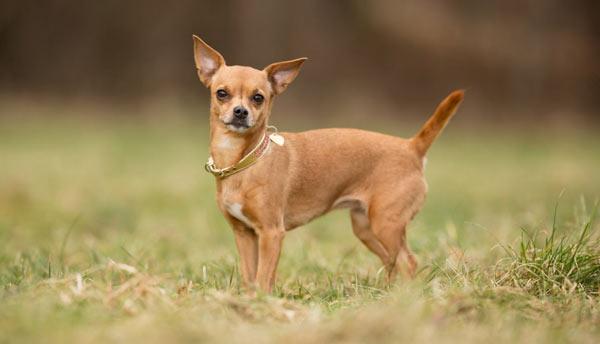 Чихуахуа - самые маленькие породы собак