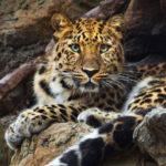 Дальневосточный леопард или амурский барс