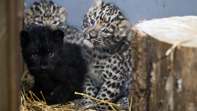 Самка дальневосточного леопарда, в среднем, рождает 1-2 детенышей