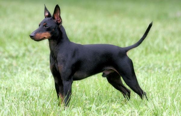 Английский той-терьер - самые маленькие породы собак