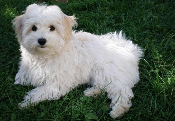 Итальянская болонка - самые маленькие породы собак
