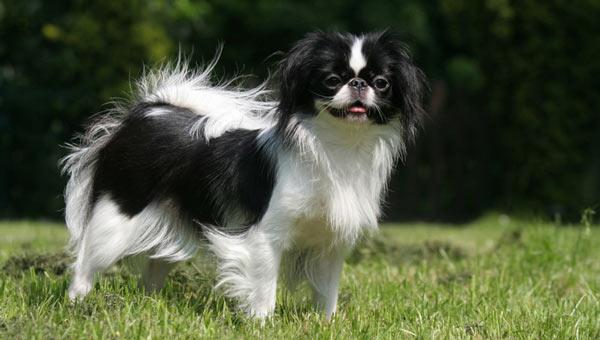 Японский хин - самые маленькие породы собак
