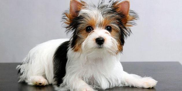 Йорки обладают хорошим здоровьем, но регулярные осмотры ветеринаром крайне желательны