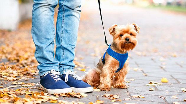 Про животных моя любимый питомец сочинение собака йоркширский терьер фехтования тростью