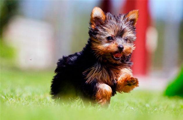 Йоркширский терьер очень активная и веселая собака