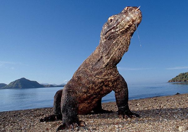 Комодский варан – самая крупная ящерица
