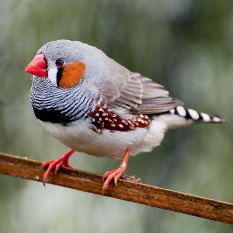 Птички амадины – домашние и неприхотливые