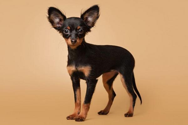 Русский той-терьер - самые маленькие породы собак