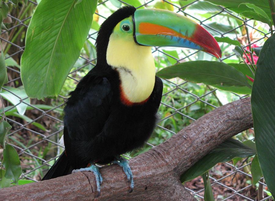 Туканы — крупные птицы, размер которых составляет примерно 40-60 см в зависимости от вида и пола птицы.
