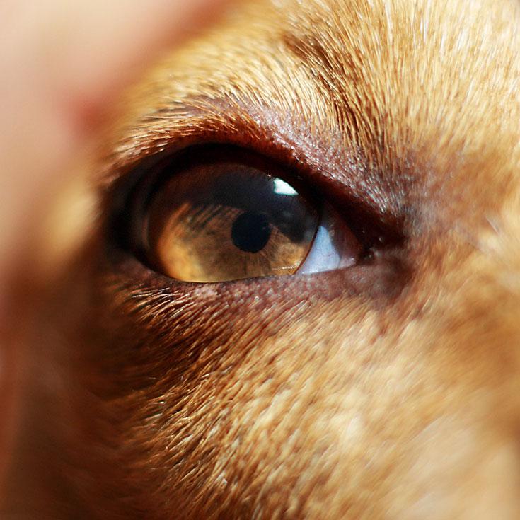 Зрение у собаки