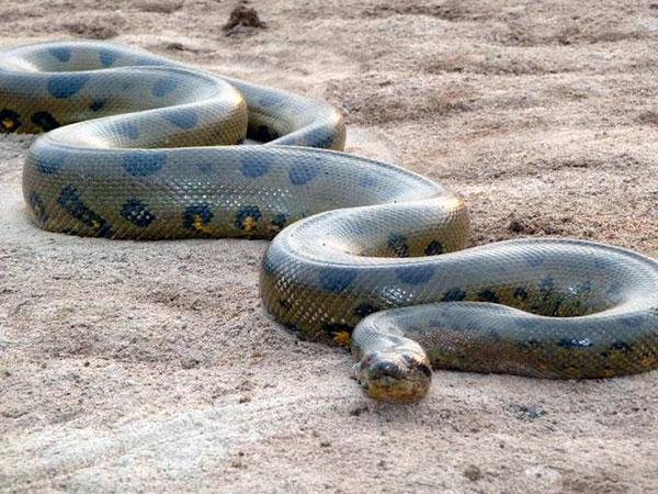 Самые большие змеи - Анаконда