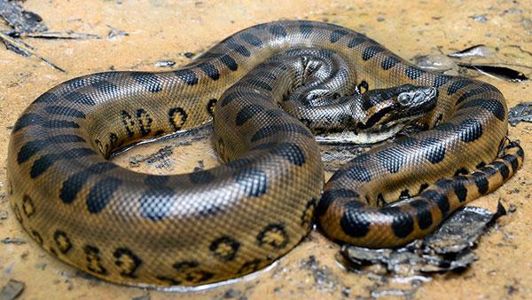 Анаконда – гигантская змея