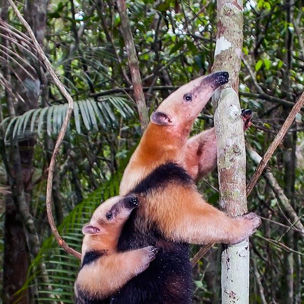 Детёныш муравьеда - мелкий и голый и может самостоятельно взбирающийся на спину своей матери