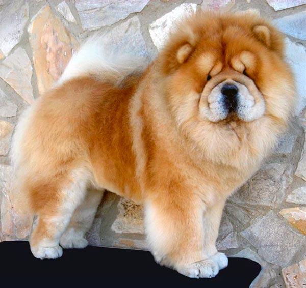 Чау чау - компактная и крепкая собака, с хорошо сбалансированным телом, плотно лежащим на спине хвостом