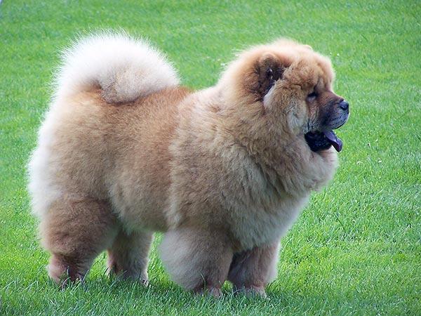 Породы собак: Чау-чау
