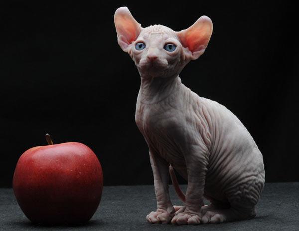 Самые маленькие породы кошек - Двэльф