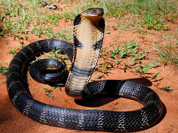 Самые большие змеи - Королевская кобра
