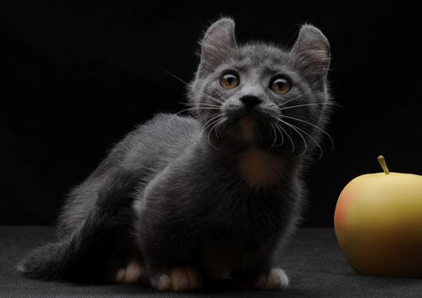 Самые маленькие породы кошек - Кинкалоу