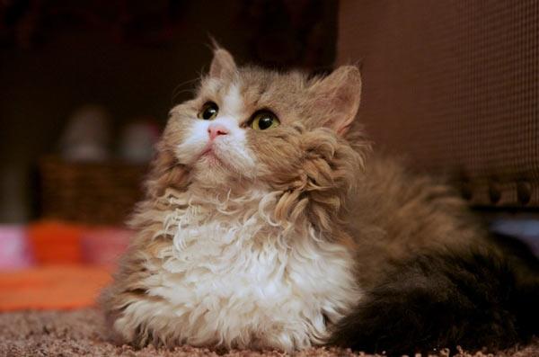 Самые маленькие породы кошек - Ламбкин