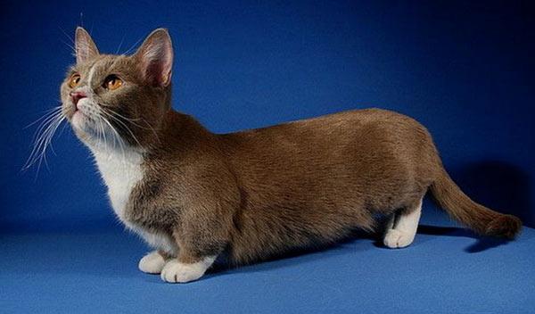 Самые маленькие породы кошек - Манчкин