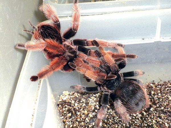 Южнорусские тарантулы спариваются на исходе лета, после чего особь самец, как правило погибает, а самка готовятся к зимовке