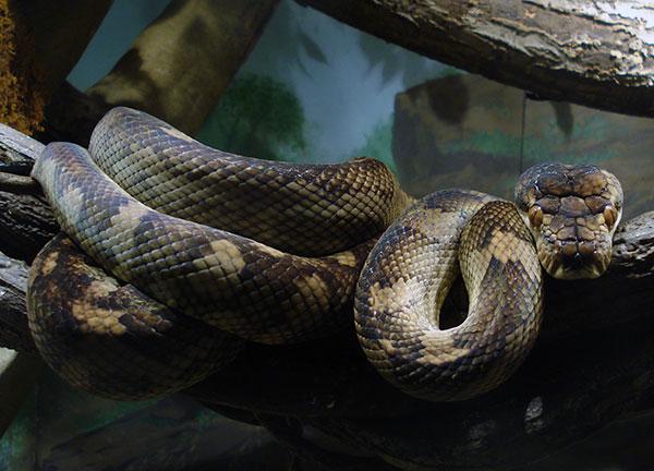 Самые большие змеи - Аметистовый питон