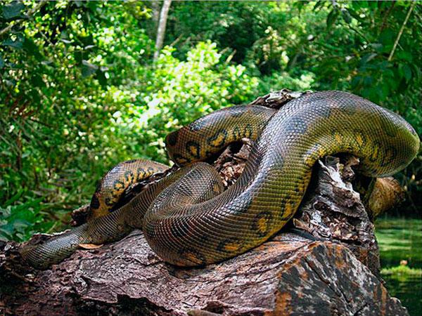 Анаконда обитает во влажных тропиках и водоёмах Южной Америки