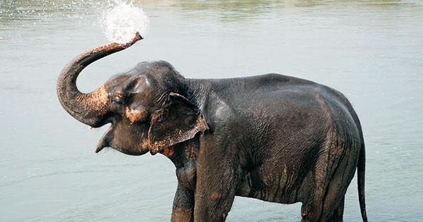 Слоненок после появления на свет уже стоит на ногах и пьет материнское молоко