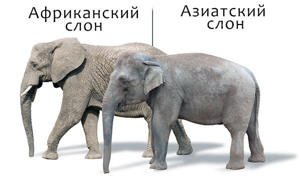 Индийский слон уступает африканскому по габаритам и массе