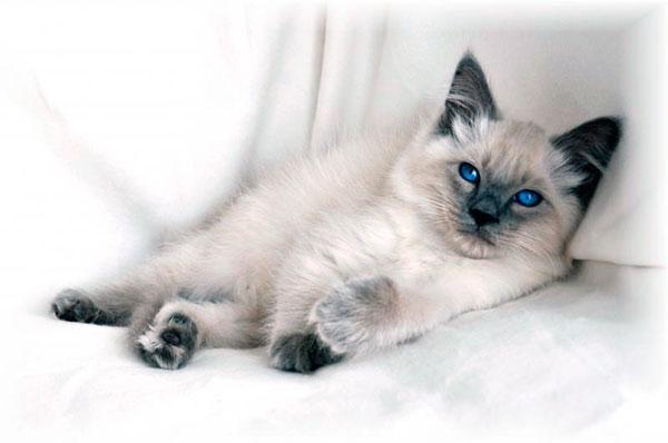 Гипоаллергенные породы кошек - Балийская кошка