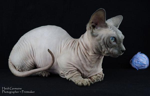 Самые маленькие породы кошек - Бамбино