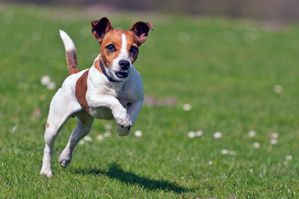 Породы собак: Джек-рассел-терьер
