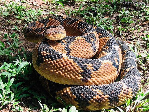 Самые большие змеи - Бушмейстер