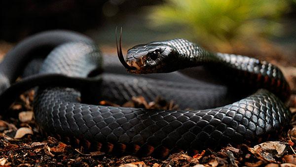 Самые большие змеи - Черная мамба