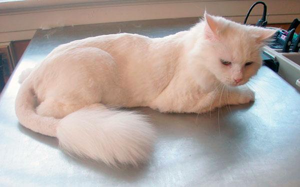 Хвост у кошек при стрижке - больное место и его следует очень аккуратно стричь